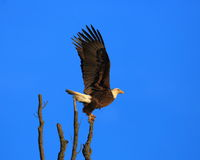 Eagle launching from a perch. American Bald Eagle launching from a perch in a tree near a nest  along the banks of the Mississippi River in central Missouri on a Royalty Free Stock Photography