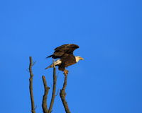 Eagle launching from a perch. American Bald Eagle launching from a perch in a tree near a nest  along the banks of the Mississippi River in central Missouri on a Royalty Free Stock Image