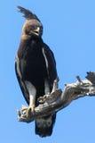 Eagle Longo-com crista (occipitalis de Lophaetus) Imagem de Stock