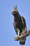 Eagle Longo-com crista (occipitalis de Lophaetus) Foto de Stock