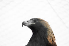 American Eagle. Look Wild Eagle Royalty Free Stock Photos