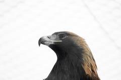 American Eagle Royalty Free Stock Photos