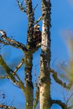 Eagle is lookig for his prey. Eagle is lookig and waitning for his prey royalty free stock photos