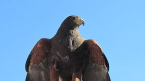 The eagle Stock Photography