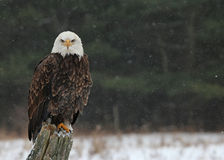 Eagle Looking calvo em você Imagem de Stock