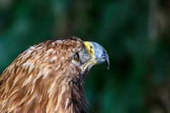 An eagle looking into the distance. background royalty free stock images