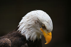 Eagle Looking Down Royalty Free Stock Photo