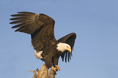Eagle looking down from perch Stock Image