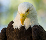 Eagle Looking Down Stock Image