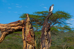 Eagle Looking for a Meal. Eagle on an old Acacia tree in the Nakuru National Park, Kenya Royalty Free Stock Photography