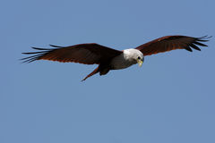 Eagle looking for a prey. Close-up of an eagle looking for a prey, against blue sky stock photo