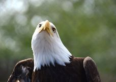 Captive Eagle Looking for Prey Stock Photo