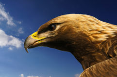 Eagle lookout. Headshot of an american eagle on the lookout for prey Royalty Free Stock Photography