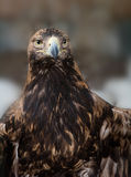 Eagle  looks at with a stern intensity. Tawny Eagle (Aquila rapax) is a large bird of prey. The eagle looks at with a stern intensity Royalty Free Stock Photography