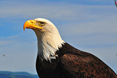 Eagle maestoso Immagini Stock