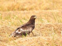 Eagle (maggior Eagle macchiato) Immagini Stock Libere da Diritti