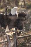 Eagle majestoso fotografia de stock