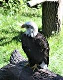 Eagle majestuoso Fotografía de archivo