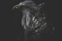Eagle man wearing jacket golden feathers Stock Images