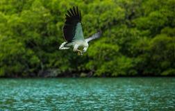 Eagle mangeant en marche Photos libres de droits