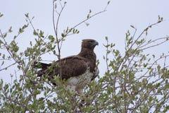 Eagle marcial Fotografía de archivo