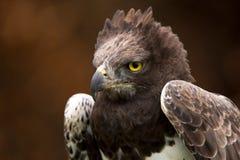 Eagle marcial imágenes de archivo libres de regalías