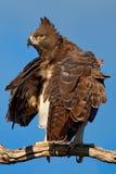 Eagle marcial imagenes de archivo