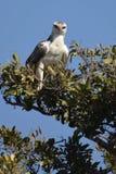 Eagle marcial (bellicosus) de Polemaetus (joven) foto de archivo libre de regalías