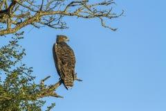 Eagle marcial en el parque nacional de Kruger, Suráfrica fotos de archivo libres de regalías