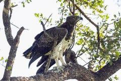Eagle marcial en el parque nacional de Kruger, Suráfrica imagenes de archivo