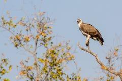 Eagle marcial juvenil na copa de árvore fotografia de stock