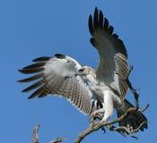 Eagle marcial no maduro con las alas separadas Imagen de archivo libre de regalías