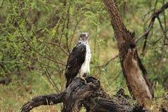 Eagle marcial no maduro empapado por la lluvia que se coloca en tocón de árbol muerto imagen de archivo
