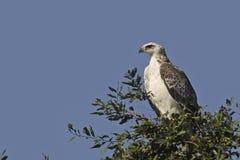 Eagle marcial {Polemaetus Bellicosus} imagen de archivo