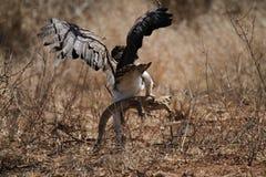 Eagle marziale Immagini Stock