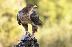 Eagle med ett rov i dess watchtower Fotografering för Bildbyråer