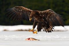 Eagle med fisken Eagle på snön Guld- Eagle med låsfisken i den snöig vintern som är insnöad skoglivsmiljön som landar på is Eagl Arkivfoton