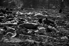 Eagle med tonåringen på en nedgrävning av sopor Arkivbild