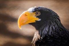 Eagle met gele bek stock foto's