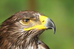 Eagle met gele bek en vastgehaakt het waakzame oog Stock Afbeeldingen