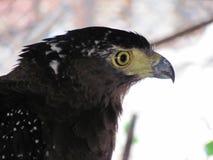 Eagle met gele ogen van de kant royalty-vrije stock foto