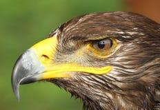 Eagle met gele vastgehaakte bek en het waakzame oog Stock Foto