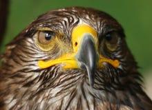 Eagle met gele vastgehaakte bek en het waakzame oog Royalty-vrije Stock Afbeeldingen