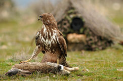 Eagle met prooi wordt neergestreken die Royalty-vrije Stock Foto
