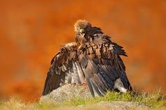 Eagle met vangstvos Gouden Eagle, Aquila-chrysaetos, roofvogel met doden rode vos op steen, foto met de vage oranje herfst Royalty-vrije Stock Afbeeldingen