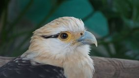 Eagle Milvago-chimachima, sabanero van caricari Royalty-vrije Stock Fotografie