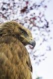 Eagle mit blauem Himmel Lizenzfreies Stockfoto
