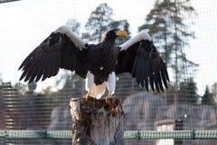 Eagle mit den großen Flügeln, die versuchen zu fliegen Lizenzfreie Stockfotos