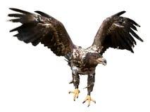 Eagle mit den verbreiteten Flügeln, lokalisiert Lizenzfreie Stockfotografie