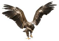 Eagle mit den verbreiteten Flügeln lokalisiert auf Weiß Stockfotos